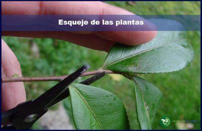 Esqueje de las plantas