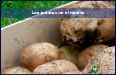 Las patatas en el huerto