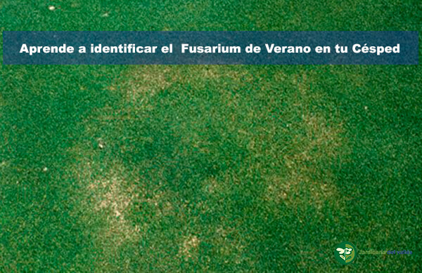 fusarium de verano en el césped