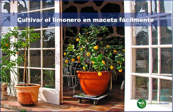 Forma fácil de cultivar limonero en maceta