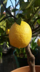 siembra de limonero en maceta