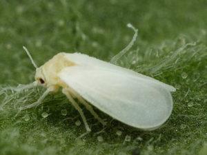 la plagas en el huerto- mosca blanca