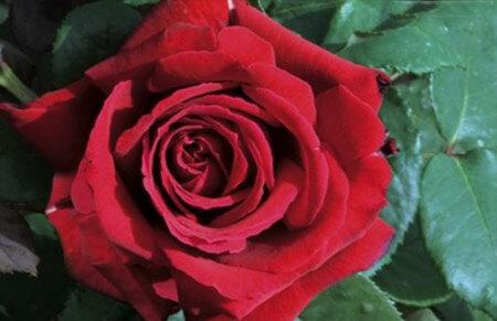 Botero Meiafone - Tipos de rosales