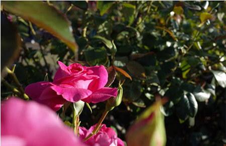 Caprice de Meilland - Tipos de rosales