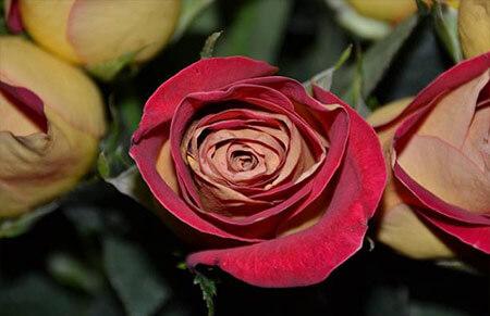 Eddy Mitchel - Tipos de rosales