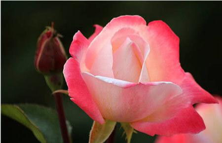 Laetitia Casta _ Tipos de rosales