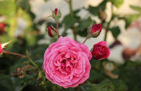 Line renaud - Tipos de rosales