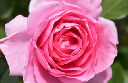 Lolita Lempicka - Tipos de rosales