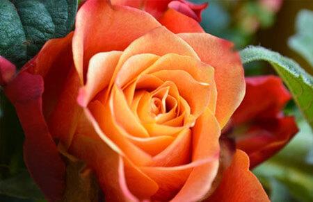 Louis de Founes - Tipos de rosales