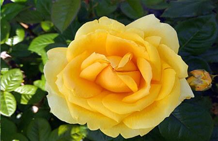 Michelangelo - Tipos de rosales