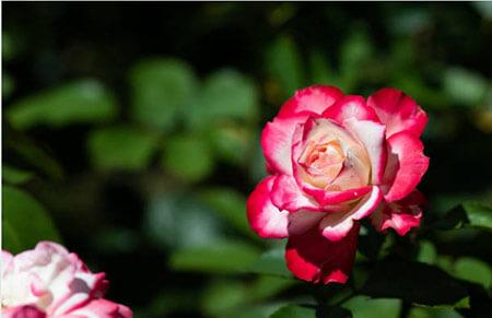 Mònica Belucci - Tipos de rosales