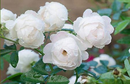 Pierre Arditi - Tipos de rosales