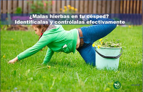 Malas hierbas en el césped idenficficals y controlalas