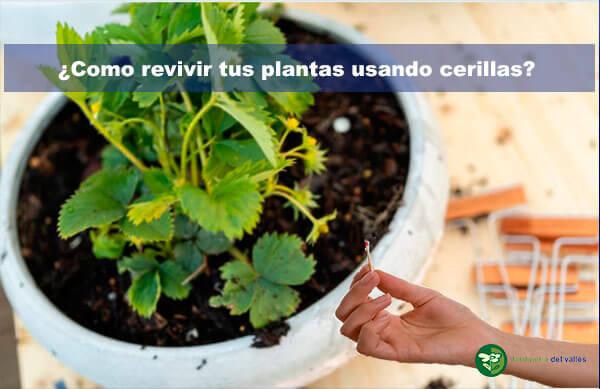 ¿como usar cerillas para revivir plantas?