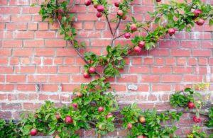 espalderas decorar tu jardín con frutales