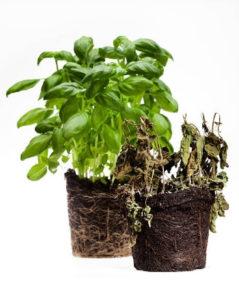 pudrición de raíces agua oxigenada