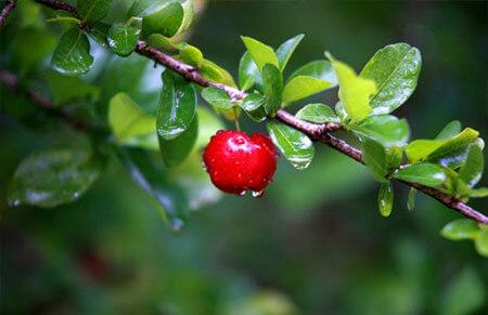 acerolo arboles frutales