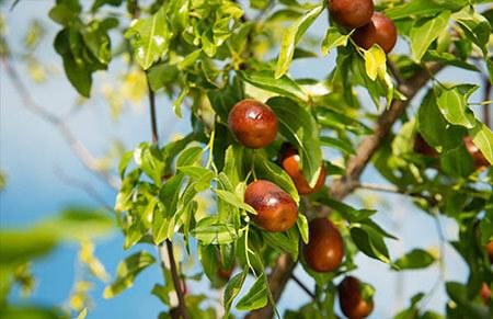 Azufaifo arboles frutales
