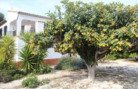 níspero tanaka arboles frutales