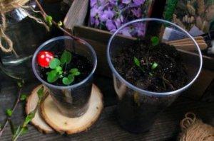 plántula para sembrar dichondra repens