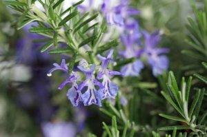 aromáticas tareas del jardín en agosto