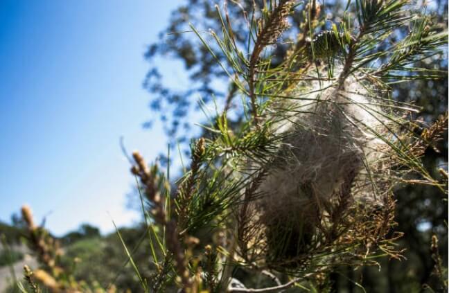 Bolsón de colonia de orugas de procesionaria del pino.