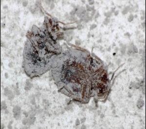 Efecto sobre las plagas de la tierra de diatomeas