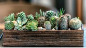 Plantas de interior resistentes cactus