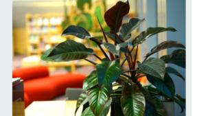Plantas de interior resistentes congo rojo