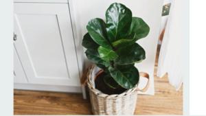 plantas de interior resistentes ficus