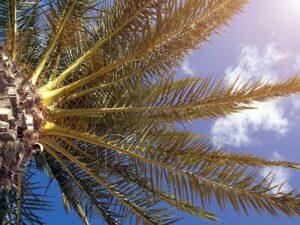 La solución para eliminar el problema del picudo de la palmera (2)