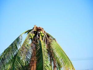 La solución para eliminar el problema del picudo de la palmera (3)