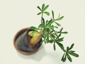 Cuidados y Consejos para tu bonsái olivo